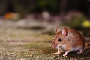 3 astuces pour venir à bout des souris dans sa maison